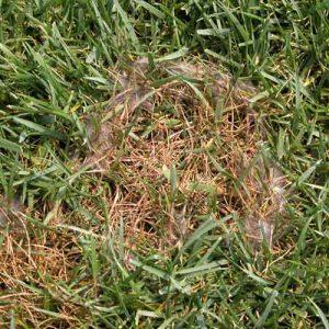 Pythium on lawn