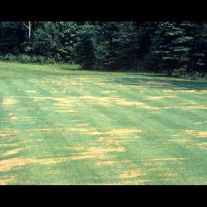 Pythium turf disease
