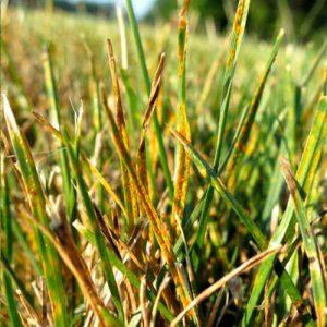 lawn rust