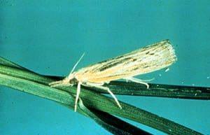 sod webworm moth