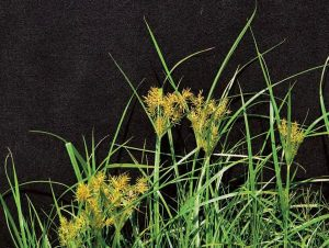 Yellow Nutsedge Lawn Care Macon / Georgia